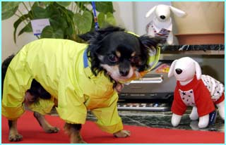 Black, a chihuahua, looks ready for Japan's rainy season as he wears a yellow raincoat