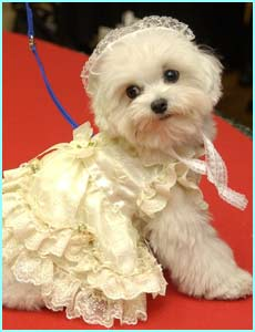 Chibi, a Maltese, is in an Italian dress. Not that he cares