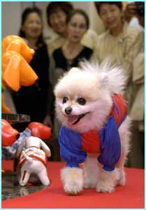 Momo, a pomeranian, wears another raincoat