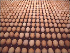 Eggs on production line