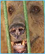 A bear in the zoo in Baghdad. He has teeth problems