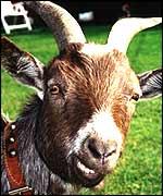 _39183119_goat150.jpg