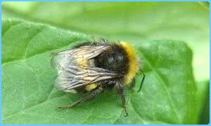 Some Bumblebees are facing extinction