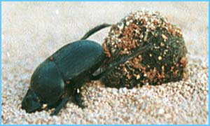 The African dung beetle