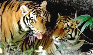 Los tipos de tigres