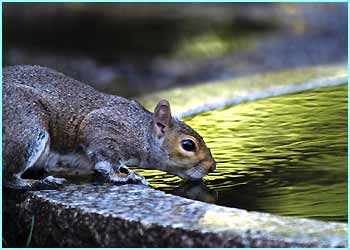 This squirrel's either about to quench his thirst or start doing laps...