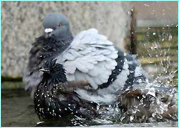 ...and the pigeon family goes the whole hog and splashes around 'til they feel cooler