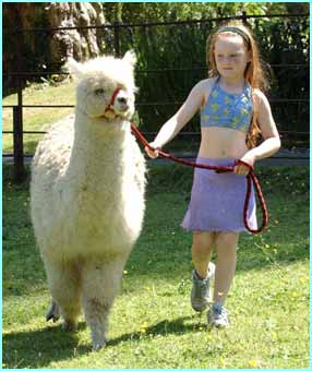 Merrylegs, the alpaca, gets ready for to be sheared, which will keep her cool in the heat