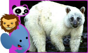 A rare white-phase black bear