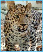Akin the Amur leopard