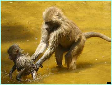 A Baboon and her cub cool off in a Madrid Zoo pond as temperature reaches record breaking levels