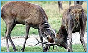 The report says the red deer population has trebled