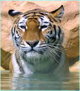 Siberian tiger relaxing in Barben zoo under the French sun