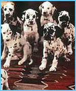 Dalmatians often go deaf