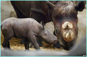 On the other side of the world, New York zoo shows it's latest arrival, a baby rhino with its mother
