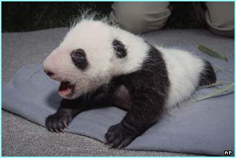 A new baby panda is born in San Diego Zoo, USA