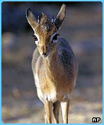 A dik-dik is a small deer found in parts of West Africa
