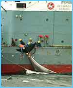 Japanese whalers capture a whale for research