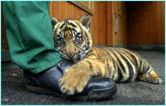 Ratna, a 14-week-old Sumatran tiger cub born in London , meets the press