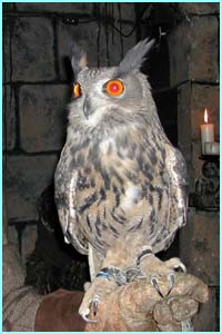 Bob the eagle owl is two-years-old. He feasts on rabbits and mice!