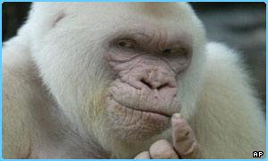 _39520046_gorilla300.jpg