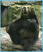 A bear at the zoo