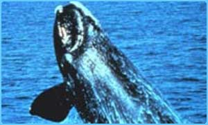 The northern right whale is endangered, photo by NOAA