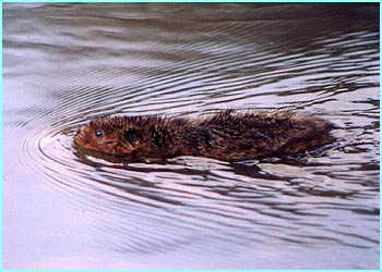 Local wildlife is also represented - like this Water Vole by Helen Ford, 12