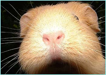 The subjects can range from family pets like this striking Guinea pig face by Emma Sture, 11...