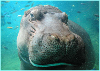 And congratulations go to Gareth Newton, 11 - the overall winnner with this amazing underwater close-up of an intrigued looking hippo!