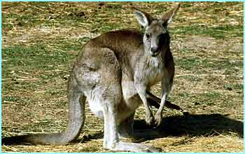Later on in September a kangaroo was hailed a hero in Oz. After finding a farmer unconscious Lulu saved his life by banging on the door of  his home until his wife came out to see what was wrong