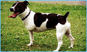 A Jack Russell