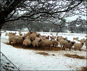 Sheep feeding in the snow near Beulah (Liz Fleming-Williams)
