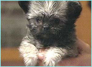 At 7.6 centimetres tall, this little doggie could be the smallest dog in the world when he 'grows up'!