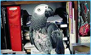 N'Kisi the parrot  Grace Roselli
