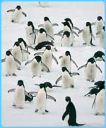 Penguins live in the Antarctic