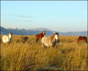 The marsh ponies at Llanrhidian, as captured by Peter Webb