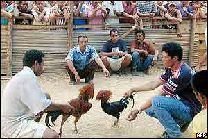Two Thai men prepare their roosters for a fight