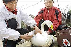 A swan is tested for the bird flu virus in central China