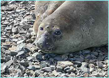 There are loads of seals on Antarctica and they're really stinky!
