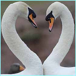 On a more loving note, two swans get their Valentine's message across at the Slimbridge Trust in Gloucestershire
