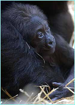 Kumili, a two-week old female gorilla is shown off to the public for the first time at Chessington World of Adventures in Surrey