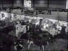 Cattle in pen in shed