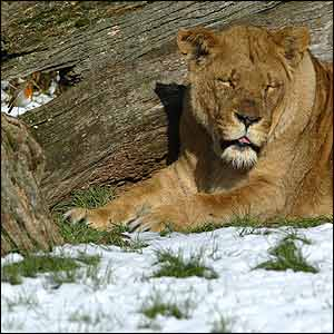 Lion sleeps in snow