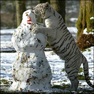 White tiger and a snowman