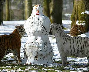Tigers play with snowman