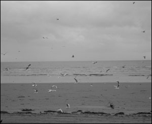 Seagulls on Swansea Bay (sent by Owen White)