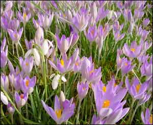 Crocuses in a Pontypridd garden, as caputured by Denize McIntyre