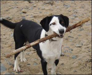 A picture of Philippa Harris' dog Gwennol on Llanddwyn beach, Anglesey