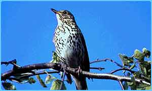 Song thrush on branch in a  tree